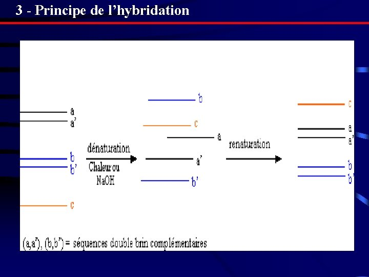 3 - Principe de l'hybridation