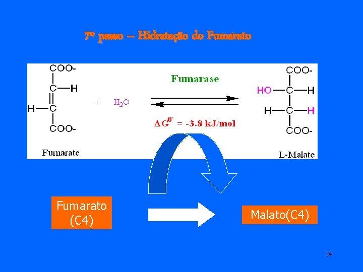 7º passo – Hidratação do Fumarato (C 4) Malato(C 4) 14