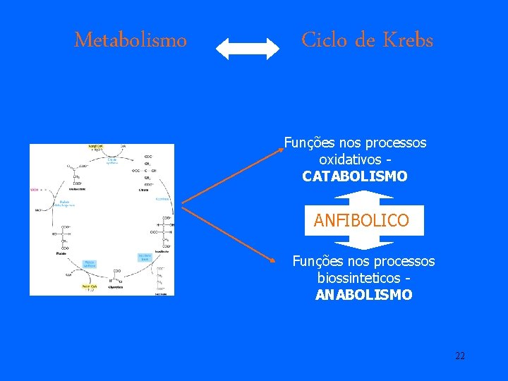 Metabolismo Ciclo de Krebs Funções nos processos oxidativos CATABOLISMO ANFIBOLICO Funções nos processos biossinteticos