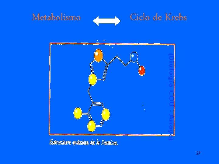 Metabolismo Ciclo de Krebs 27