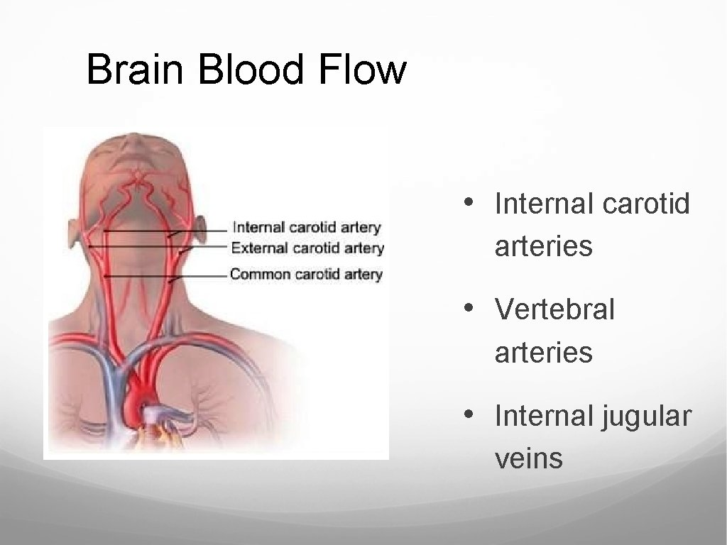 Brain Blood Flow • Internal carotid arteries • Vertebral arteries • Internal jugular veins