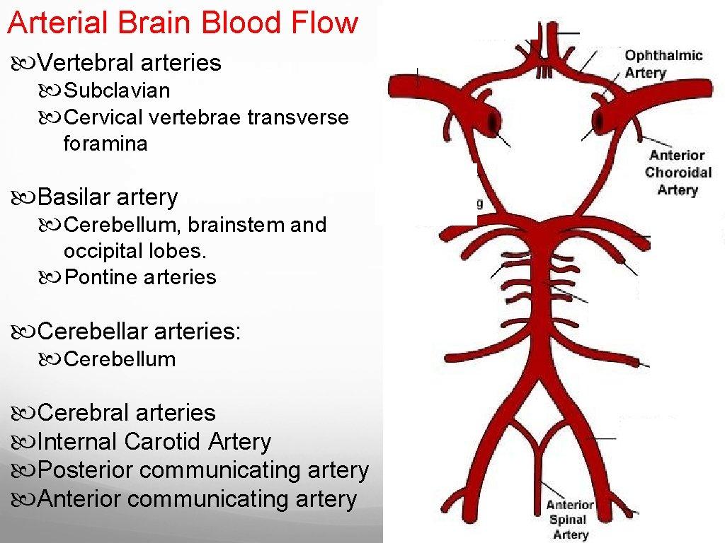 Arterial Brain Blood Flow Vertebral arteries Subclavian Cervical vertebrae transverse foramina Basilar artery Cerebellum,
