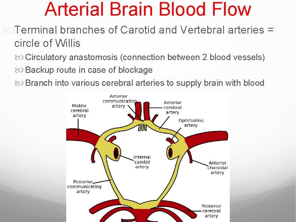 Arterial Brain Blood Flow Terminal branches of Carotid and Vertebral arteries = circle of