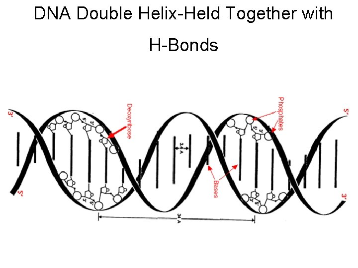 DNA Double Helix-Held Together with H-Bonds