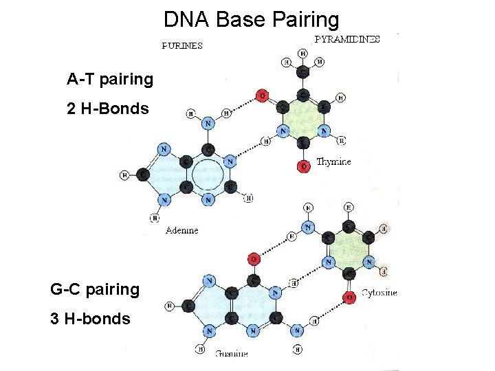 DNA Base Pairing A-T pairing 2 H-Bonds G-C pairing 3 H-bonds