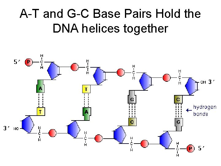 A-T and G-C Base Pairs Hold the DNA helices together