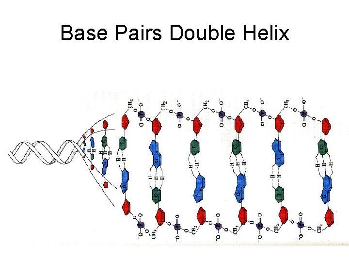Base Pairs Double Helix