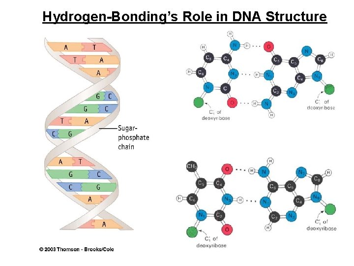 Hydrogen-Bonding's Role in DNA Structure