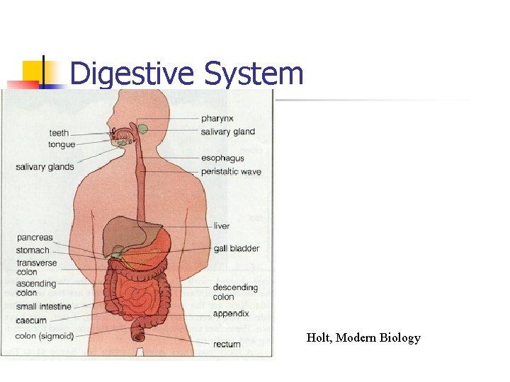 Digestive System Holt, Modern Biology
