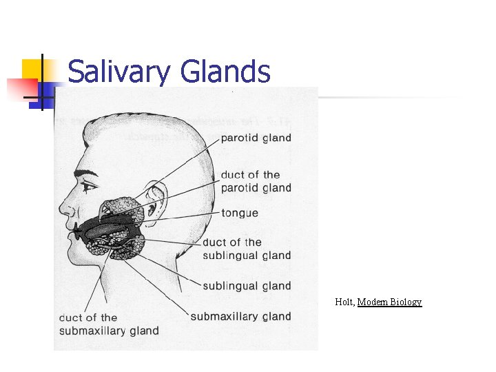 Salivary Glands Holt, Modern Biology