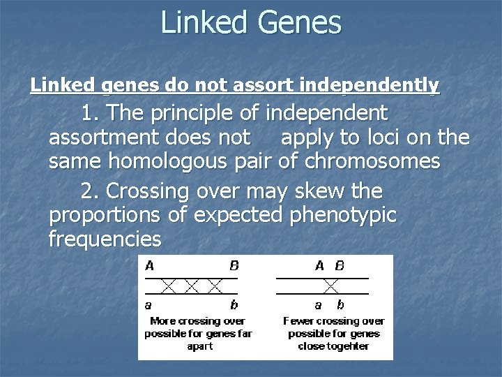 Linked Genes Linked genes do not assort independently 1. The principle of independent assortment