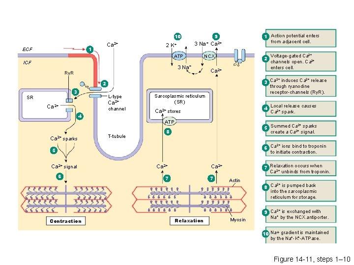 9 10 Ca 2+ 1 ECF 3 Na+ Ca 2+ 2 K+ ATP ICF