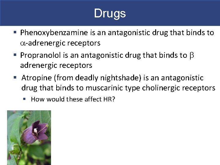 Drugs § Phenoxybenzamine is an antagonistic drug that binds to a-adrenergic receptors § Propranolol