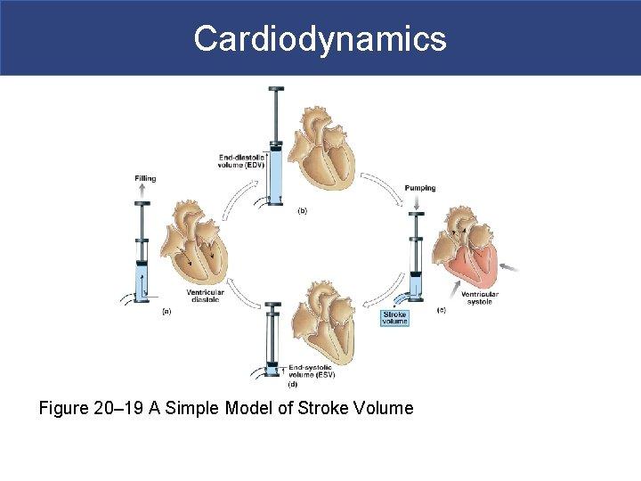 Cardiodynamics Figure 20– 19 A Simple Model of Stroke Volume
