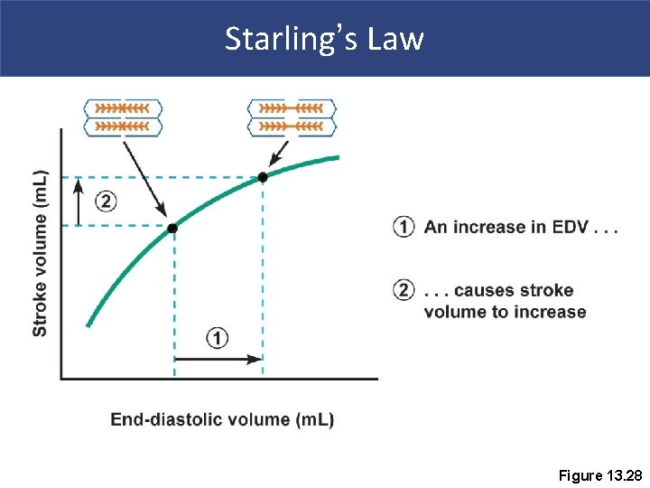 Starling's Law Figure 13. 28