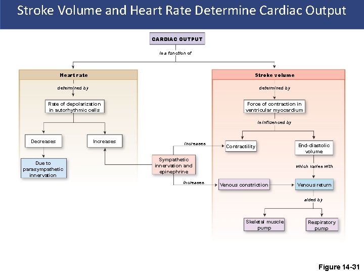 Stroke Volume and Heart Rate Determine Cardiac Output CARDIAC OUTPUT is a function of