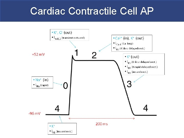 Cardiac Contractile Cell AP