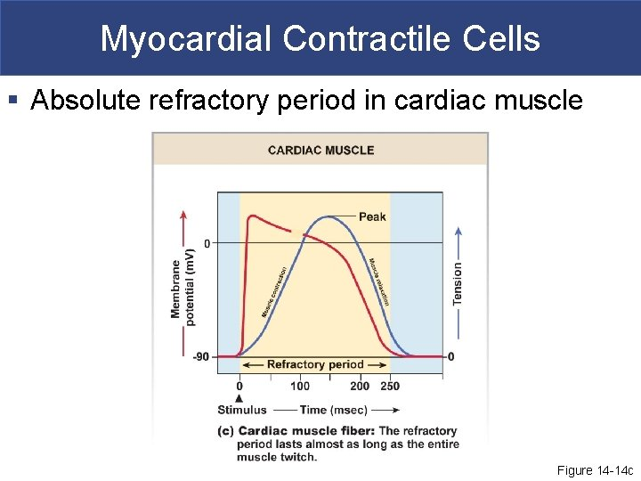 Myocardial Contractile Cells § Absolute refractory period in cardiac muscle Figure 14 -14 c