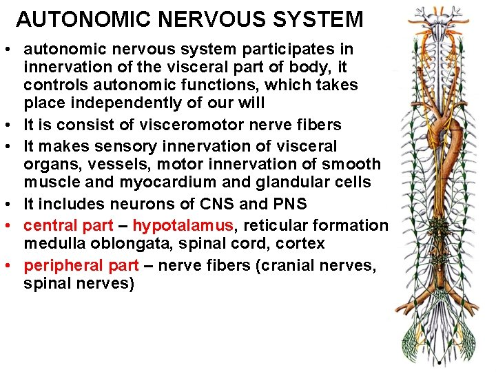 AUTONOMIC NERVOUS SYSTEM • autonomic nervous system participates in innervation of the visceral part