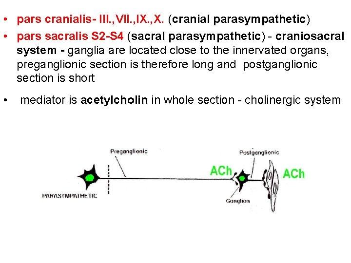 • pars cranialis- III. , VII. , IX. , X. (cranial parasympathetic) •