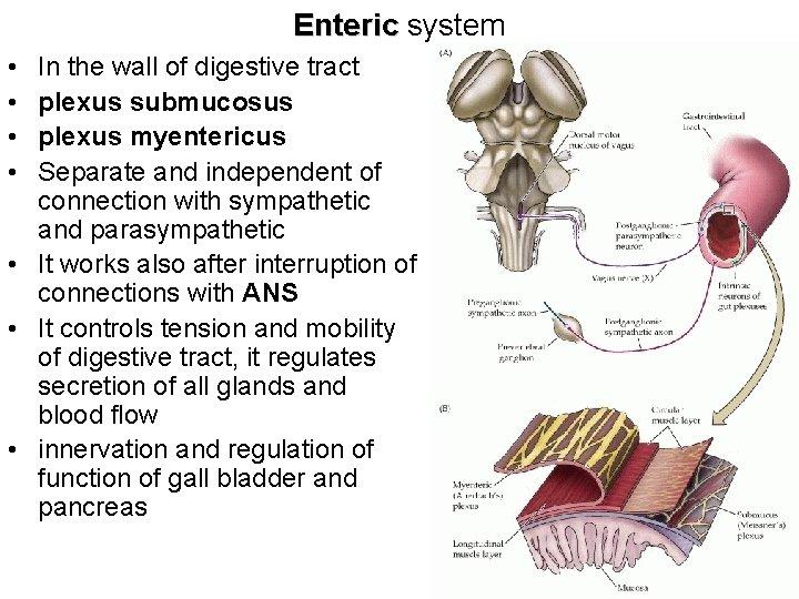 Enteric system • • In the wall of digestive tract plexus submucosus plexus myentericus