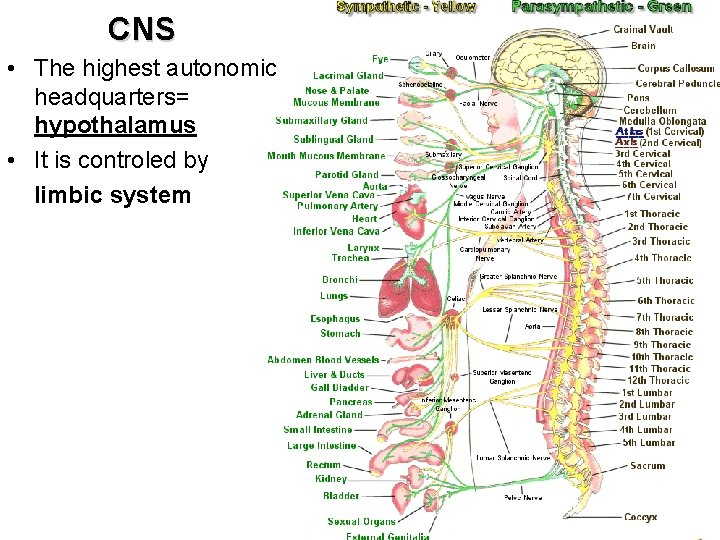 CNS • The highest autonomic headquarters= hypothalamus • It is controled by limbic system