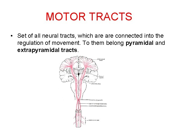 MOTOR TRACTS • Set of all neural tracts, which are connected into the regulation