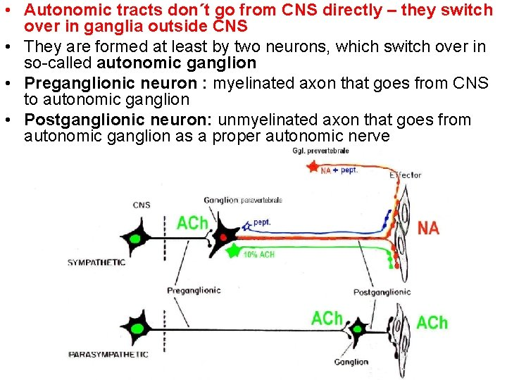 • Autonomic tracts don´t go from CNS directly – they switch over in