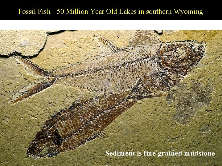 Fossil Fish - 50 Million Year Old Lakes in southern Wyoming Sediment is fine-grained