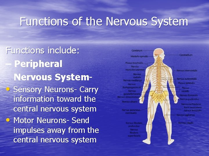 Functions of the Nervous System Functions include: – Peripheral Nervous System- • Sensory Neurons-