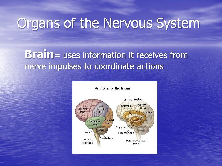 Organs of the Nervous System Brain= uses information it receives from nerve impulses to