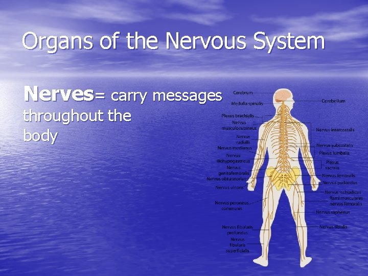 Organs of the Nervous System Nerves= carry messages throughout the body