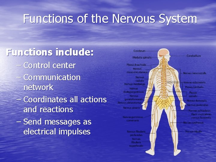 Functions of the Nervous System Functions include: – Control center – Communication network –