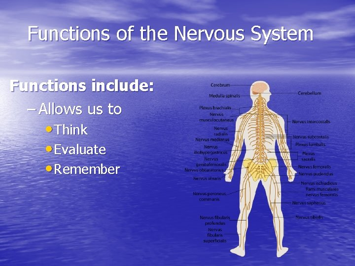 Functions of the Nervous System Functions include: – Allows us to • Think •