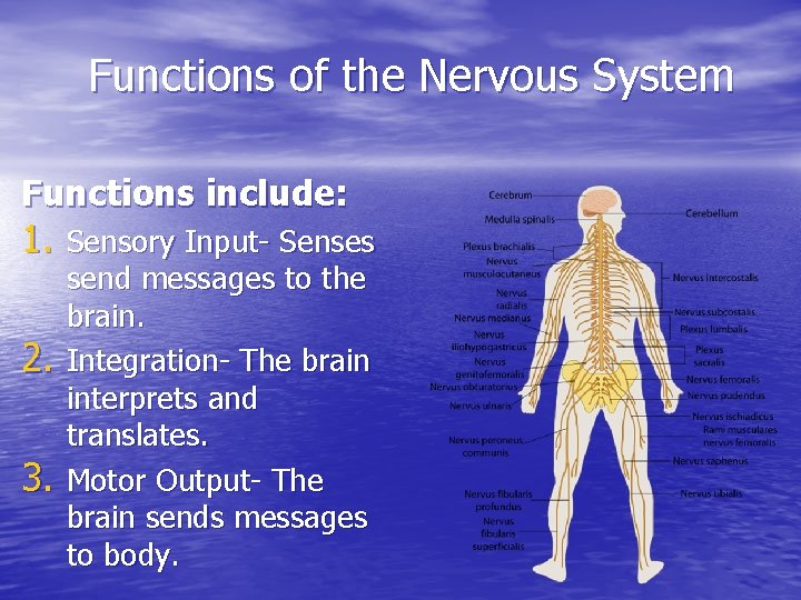 Functions of the Nervous System Functions include: 1. Sensory Input- Senses 2. 3. send