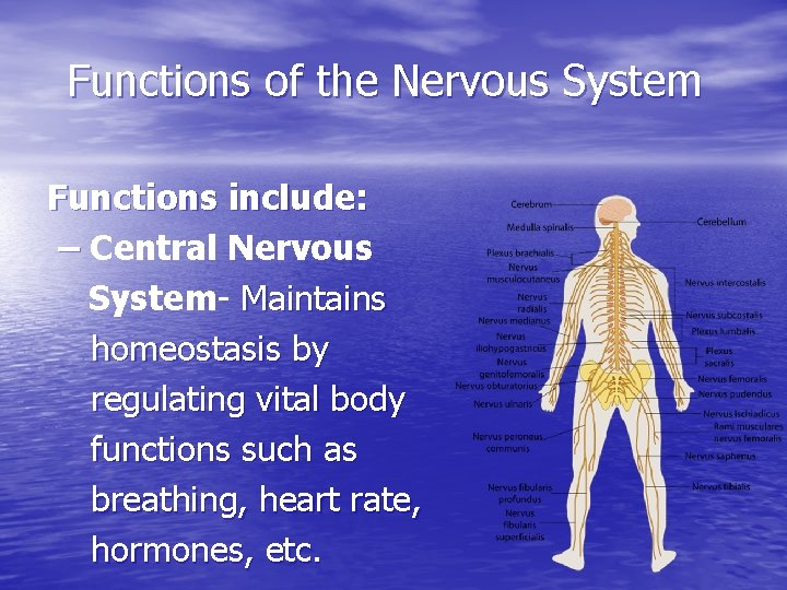 Functions of the Nervous System Functions include: – Central Nervous System- Maintains homeostasis by