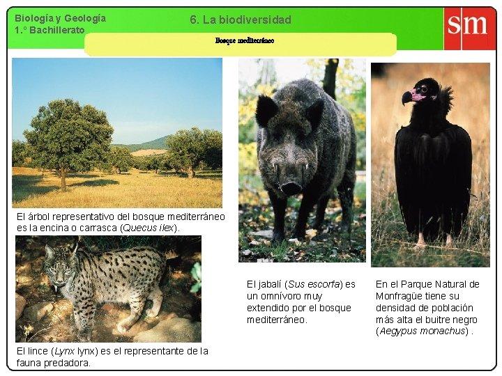 Biología y Geología 1. º Bachillerato 6. La biodiversidad Bosque mediterráneo El árbol representativo