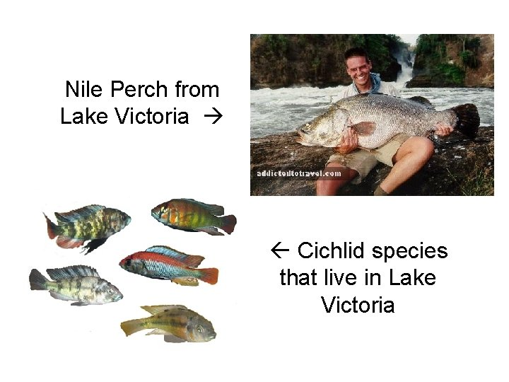 Nile Perch from Lake Victoria Cichlid species that live in Lake Victoria
