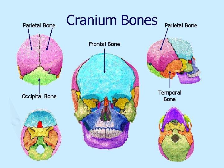 Parietal Bone Cranium Bones Parietal Bone Frontal Bone Occipital Bone Temporal Bone