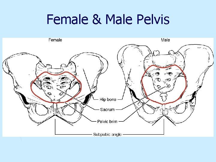Female & Male Pelvis