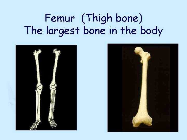 Femur (Thigh bone) The largest bone in the body