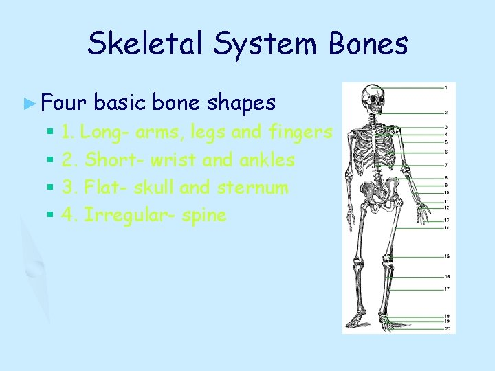 Skeletal System Bones ► Four basic bone shapes § 1. Long- arms, legs and