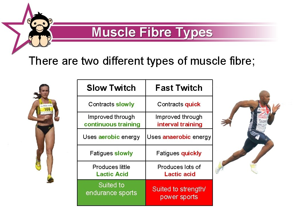 Muscle Fibre Types There are two different types of muscle fibre; Slow Twitch Fast