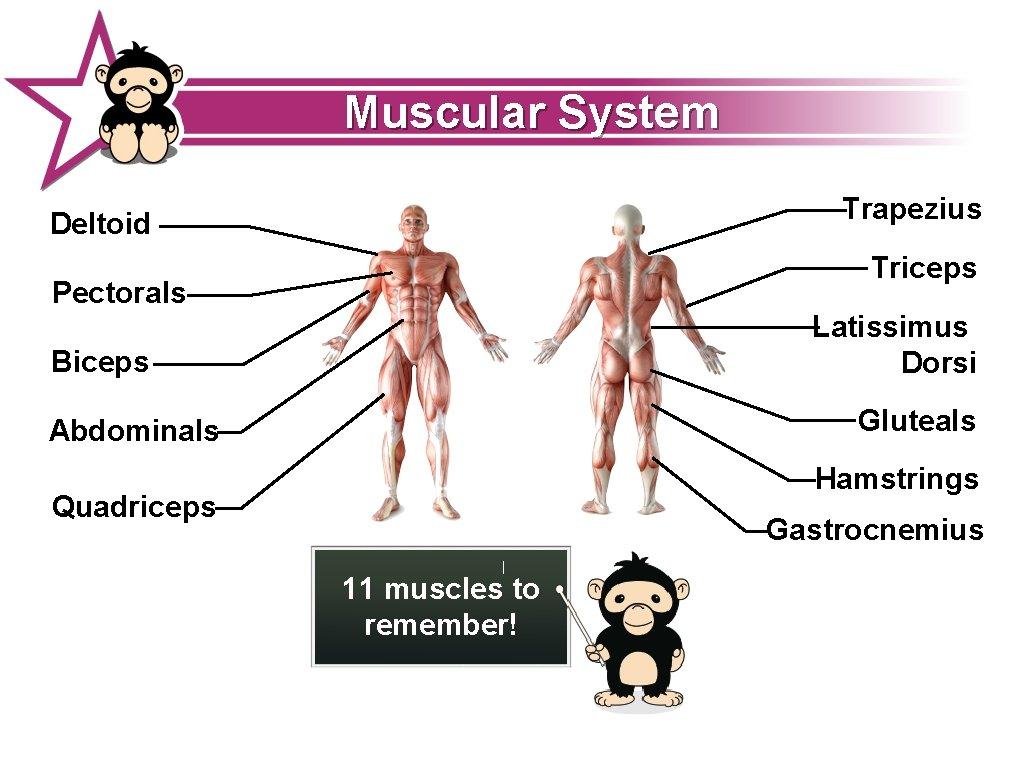 Muscular System Trapezius Deltoid Triceps Pectorals Latissimus Dorsi Biceps Gluteals Abdominals Hamstrings Quadriceps Gastrocnemius