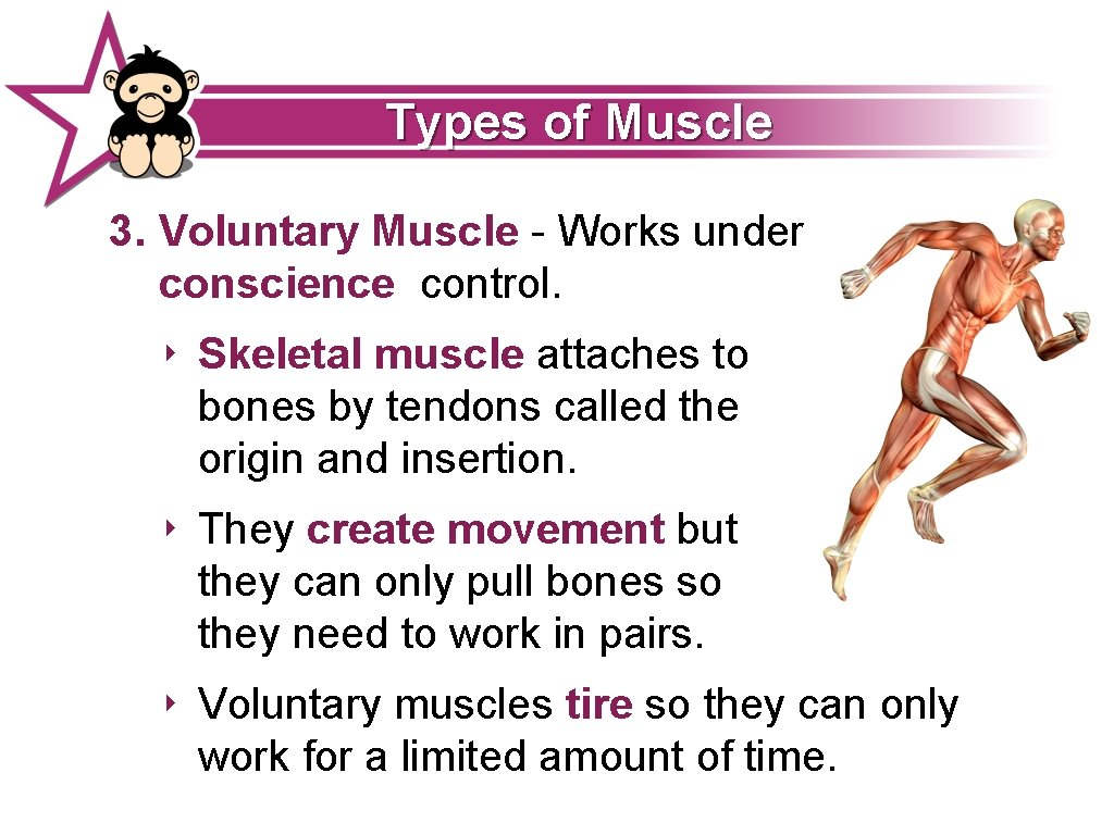 Types of Muscle 3. Voluntary Muscle - Works under conscience control. ‣ Skeletal muscle