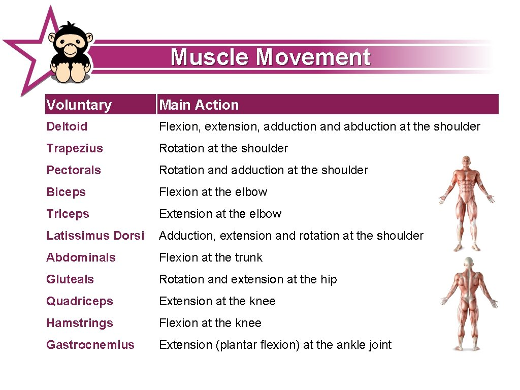 Muscle Movement Voluntary Main Action Deltoid Flexion, extension, adduction and abduction at the shoulder