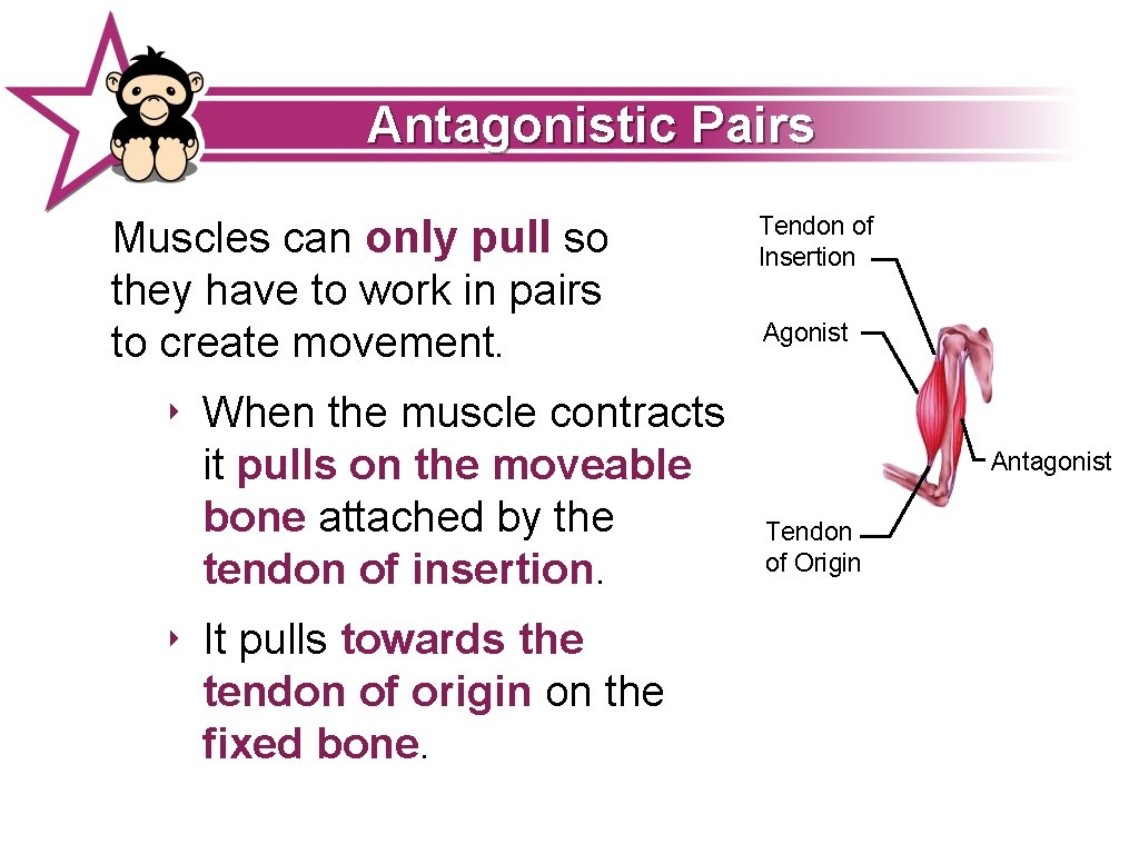 Antagonistic Pairs Muscles can only pull so they have to work in pairs to
