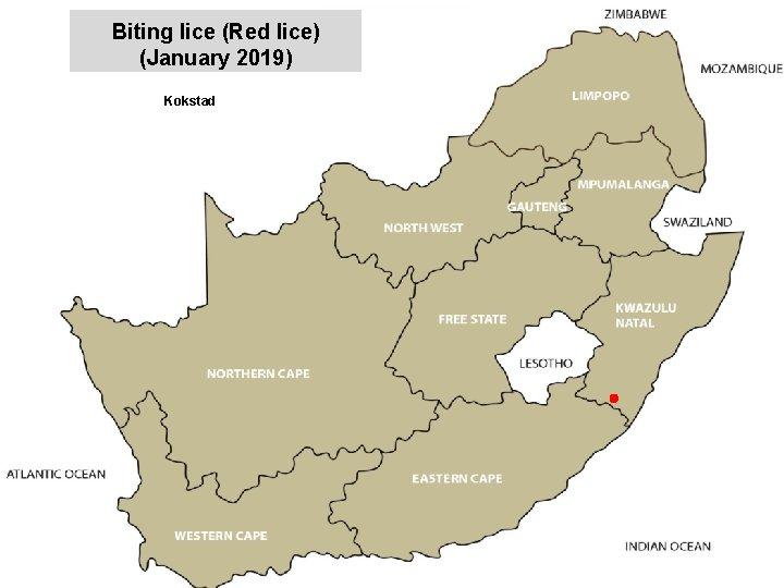 Biting lice (Red lice) (January 2019) Kokstad jkccff