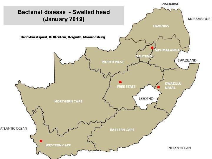 Bacterial disease - Swelled head (January 2019) kjkjnmn Bronkhorstspruit, Bultfontein, Bergville, Moorreesburg