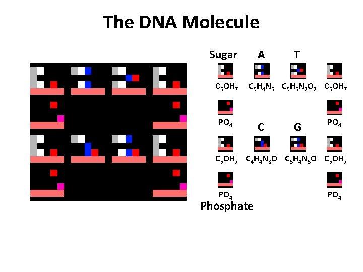 The DNA Molecule Sugar C 5 OH 7 A T C 5 H 4